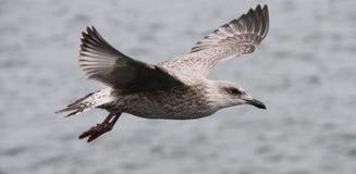 Vliegende Zeemeeuw. Royalty-vrije Stock Foto