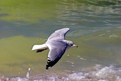 Vliegende Zeemeeuw royalty-vrije stock foto