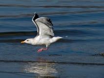 Vliegende Zeemeeuw 2 Royalty-vrije Stock Foto