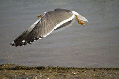 Vliegende zeemeeuw Stock Afbeelding