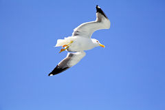 Vliegende zeemeeuw Stock Foto