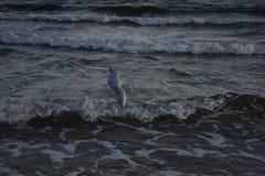 Vliegende zeemeeuw Royalty-vrije Stock Fotografie