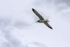 Vliegende zeemeeuw in de hemel Royalty-vrije Stock Fotografie