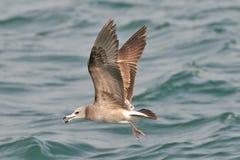 Vliegende Zeemeeuw Met zwarte staart Stock Fotografie