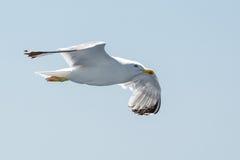 Vliegende zeemeeuw op de hemel Stock Afbeeldingen
