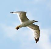 Vliegende Zeemeeuw op hemelachtergrond Stock Foto