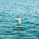 Vliegende Zeemeeuw over Blauw Oceaanzeewater Stock Foto's