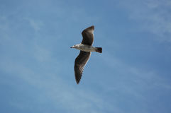 Vliegende zeemeeuw, Santa Monica Beach, Californië, de V.S. stock foto's