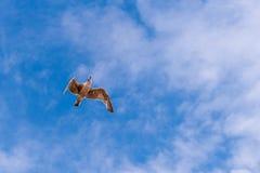 Vliegende zeemeeuw van onderaan en een mooie blauwe hemel met sommige wolken Stock Afbeelding