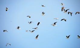 Vliegende zeemeeuwen Stock Fotografie