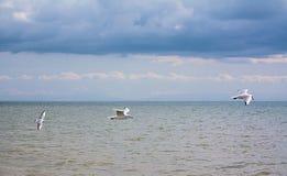 Vliegende zeemeeuwen Stock Foto
