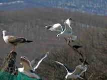 Vliegende Zeemeeuwen 3 Royalty-vrije Stock Foto