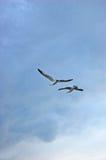 Vliegende Zeemeeuwen Royalty-vrije Stock Afbeeldingen