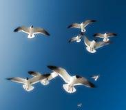 Vliegende Zeemeeuwen Stock Afbeeldingen
