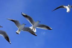 Vliegende zeemeeuwen Royalty-vrije Stock Afbeelding
