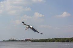 Vliegende Zeemeeuwen Royalty-vrije Stock Foto