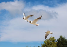 Vliegende Zeemeeuwen Stock Foto's