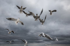 Vliegende Zeemeeuwen Royalty-vrije Stock Foto's