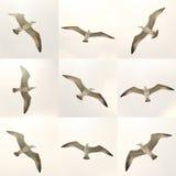 Vliegende Zeemeeuwen Stock Afbeelding