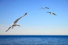Vliegende Zeemeeuwen Royalty-vrije Stock Fotografie