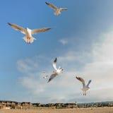 Vliegende zeemeeuwen bij een strand in Normandië Stock Afbeelding