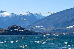 Vliegende zeemeeuwen bij Meer Wanaka Royalty-vrije Stock Foto