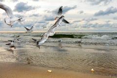 Vliegende Zeemeeuwen bij Zonsondergang Royalty-vrije Stock Fotografie