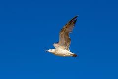 Vliegende zeemeeuwen in de hemel Stock Foto's