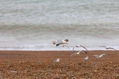 Vliegende zeemeeuwen door het overzees, steenachtig strand Stock Afbeelding