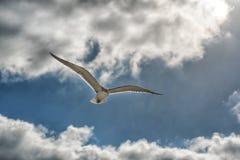Vliegende zeemeeuwen in het blauwe hemelclose-up Royalty-vrije Stock Afbeeldingen