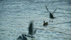 Vliegende zeemeeuwen langzame motie stock videobeelden