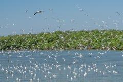 Vliegende Zeemeeuwen met Duidelijke Hemel bij Mangrovebos, Klappu, SAM Stock Foto's