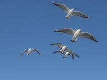 Vliegende zeemeeuwen met open vleugels in groep Royalty-vrije Stock Fotografie