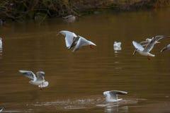 Vliegende zeemeeuwen over een rivier in Duitsland Royalty-vrije Stock Afbeeldingen