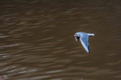 Vliegende zeemeeuwen over een rivier in Duitsland Stock Afbeeldingen