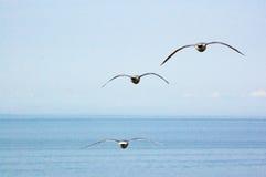 Vliegende zeemeeuwen over het overzees Stock Foto