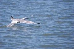 Vliegende zeevogel wat betreft water Royalty-vrije Stock Foto
