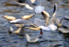 Vliegende Zilveren hoofdzeemeeuw Stock Foto's