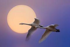 Vliegende Zwaan Stock Foto's