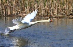 Vliegende zwaan royalty-vrije stock fotografie