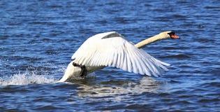 Vliegende zwaan royalty-vrije stock foto