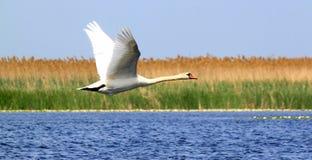 Vliegende zwaan stock foto