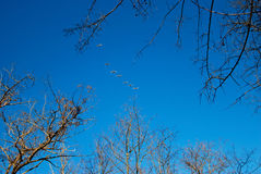 Vliegende zwanen Stock Afbeelding