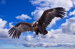Vliegende zwarte gier tegen hemel Stock Fotografie