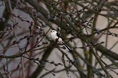Vliegenvanger met lange staart in het hout royalty-vrije stock afbeelding