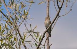 vliegenvanger, op de tak van een boom wordt gesteld die stock afbeeldingen