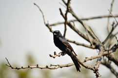 Vliegenvanger, Zwarte Afrikaan Stock Foto's