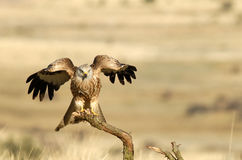 Vlieger die met vleugels landt Stock Foto