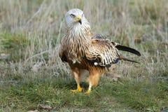 Vlieger (Milvus Milvus) Stock Fotografie