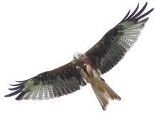 Vlieger - vogel portret stock afbeeldingen